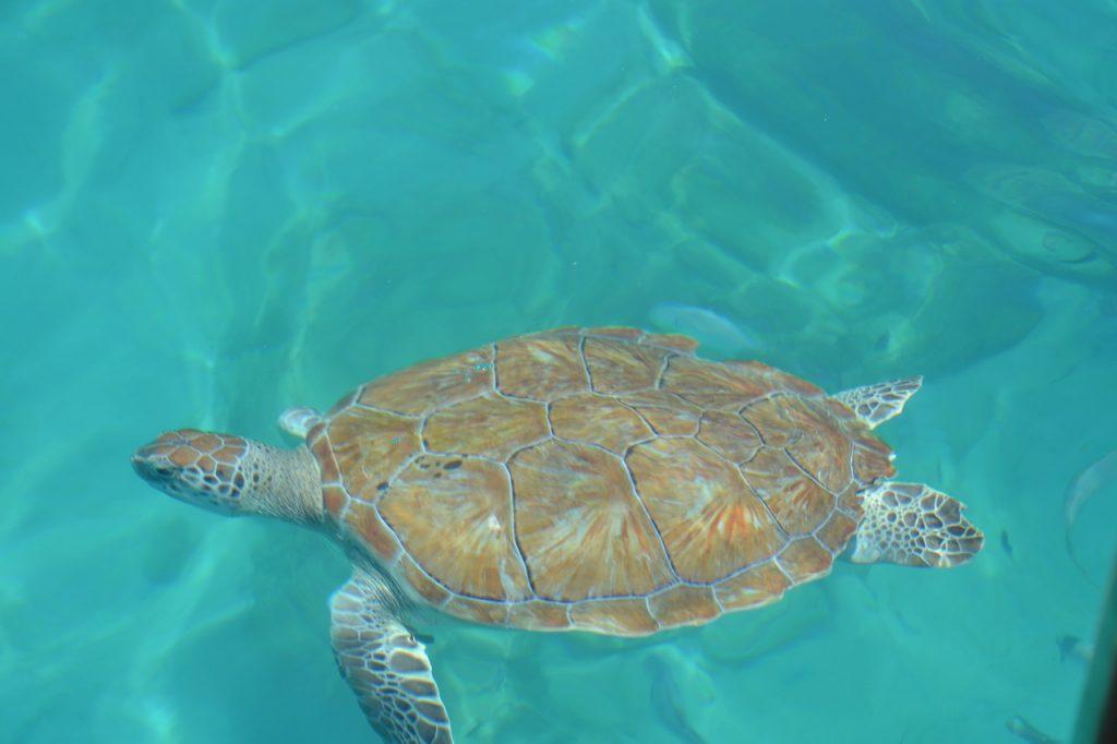 Barbados teknős