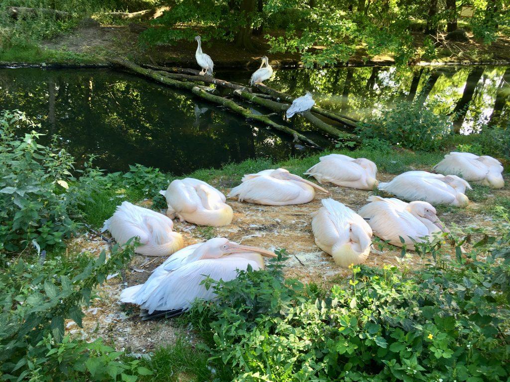 Flamingók a Tierpark Berlinben