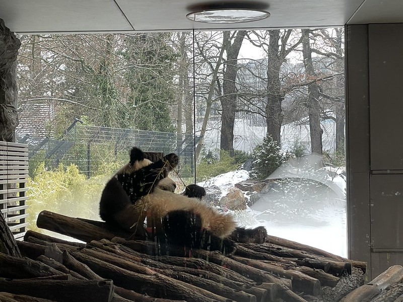 berlini állatkert pandái